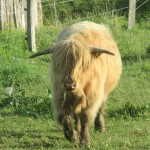 Jason, le Boeuf de la ferme : Hightland cattle