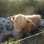 Jason Boeu Highland Cattle